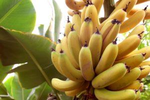 木になっている黄色いバナナのふさ