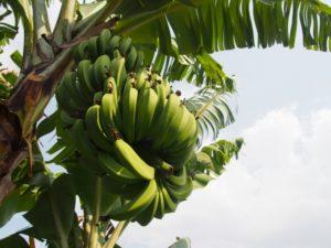 木になっている緑のバナナ