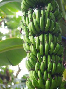 木になっている緑のバナナのふさ