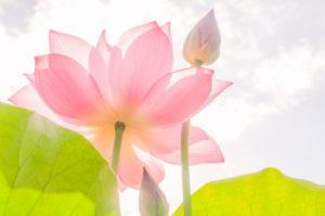 ハスの花とつぼみ